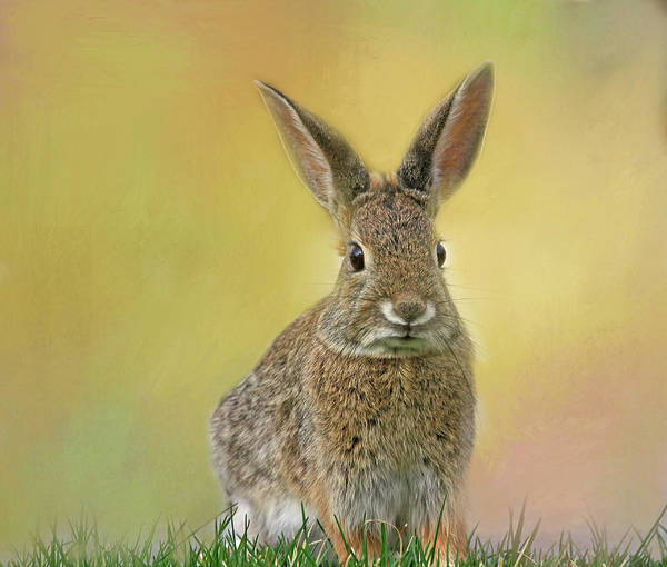 Cottontail Photograph - Hoppy Spring by Donna Kennedy
