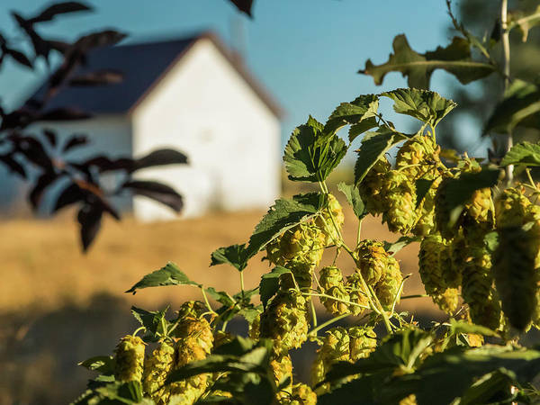 Photograph - Hops At Sunset by Mark Mille