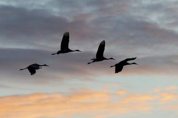 Horicon Wall Art - Photograph - Horicon Marsh Cranes #1 by Paul Schultz