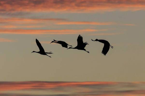 Photograph - Horicon Marsh Cranes #2 by Paul Schultz
