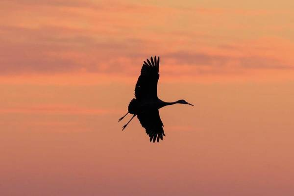 Horicon Wall Art - Photograph - Horicon Marsh Cranes #3 by Paul Schultz