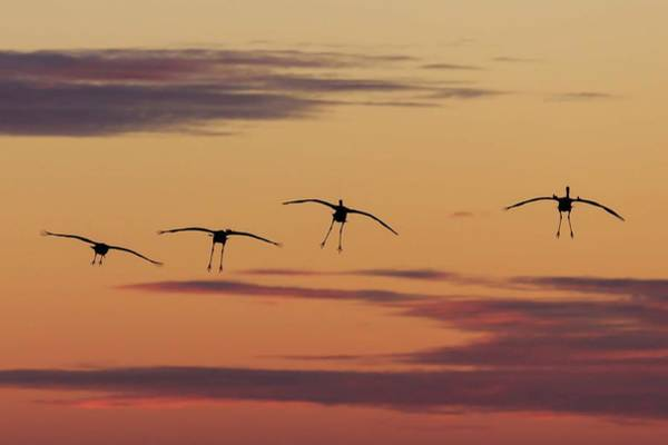 Photograph - Horicon Marsh Cranes #4 by Paul Schultz