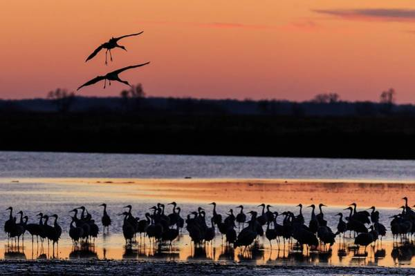 Photograph - Horicon Marsh Cranes #5 by Paul Schultz