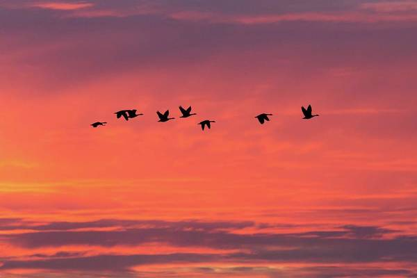Photograph - Horicon Marsh Geese by Paul Schultz