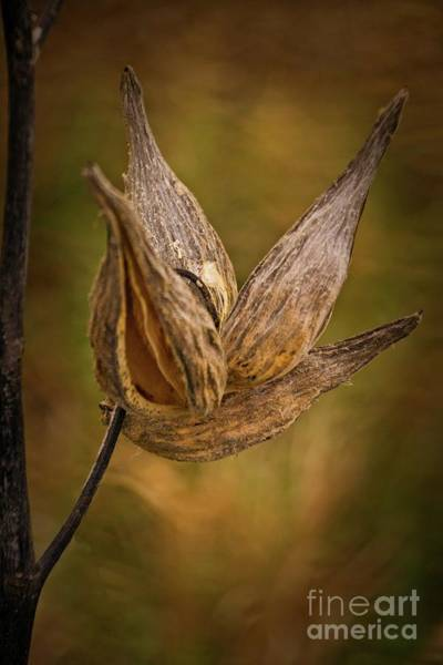 Wall Art - Photograph - Horicon Marsh - Seed Pod In Golden Tones by Mary Machare