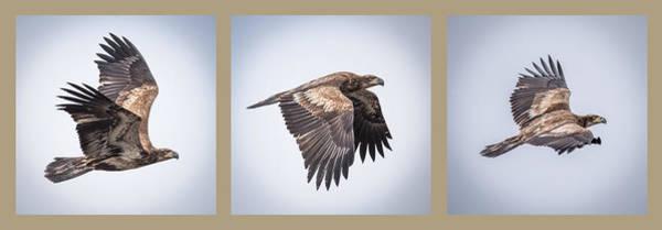 Bif Photograph - Horizontal Eagle Triptych by Paul Freidlund