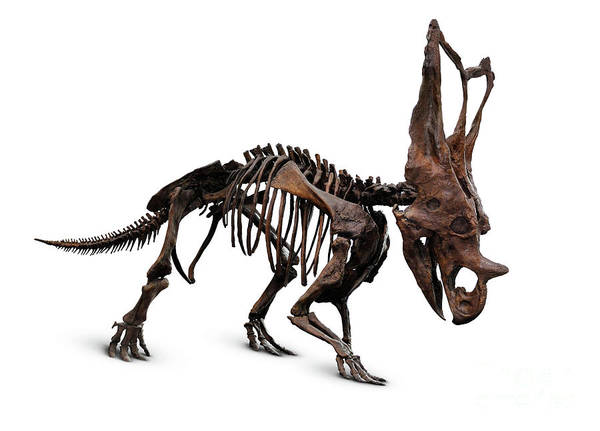 Dinosaurs Photograph - Horned Dinosaur Skeleton by Maxim Images Prints