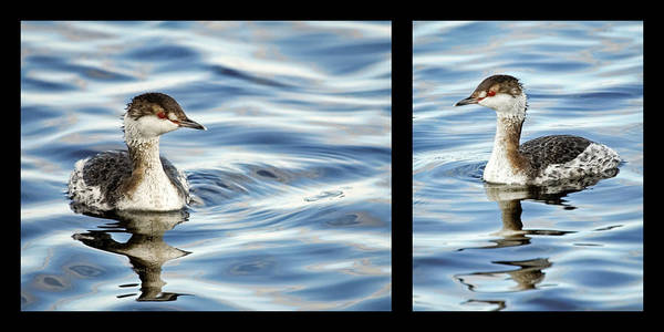 Photograph - Horned Grebe Diptych by Dawn Currie