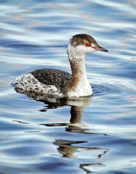 Photograph - Horned Grebe I by Dawn Currie