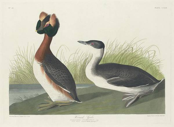Wall Art - Drawing - Horned Grebe by Dreyer Wildlife Print Collections