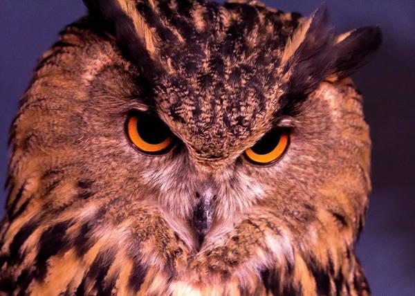 Nfs Photograph - Horned Owl by Daniel Caracappa