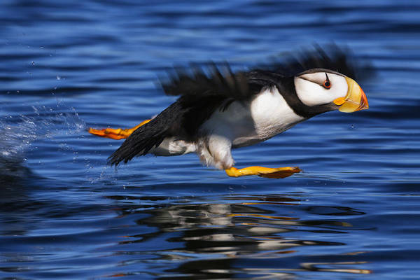 Flying Bird Photograph - Horned Puffin  Fratercula Corniculata by Marion Owen