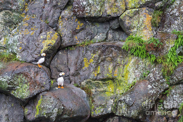 Photograph - Horned Puffins Alaska by Chris Scroggins
