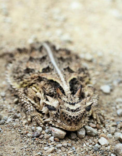 Tcu Wall Art - Photograph - Horned Toad by JC Findley