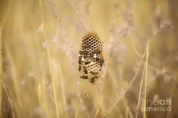 European Hornet Photograph - Hornets Nest by Gal Eitan