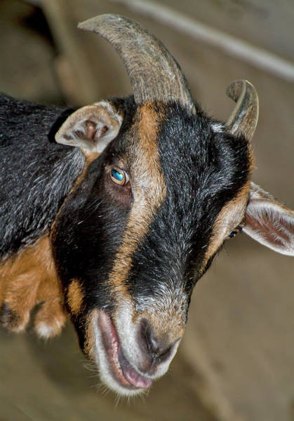 Photograph - Horny Goat Sticking His Tongue Out by Bob Slitzan
