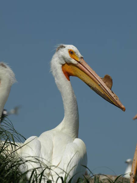 Photograph - Horny Pelican by James Peterson