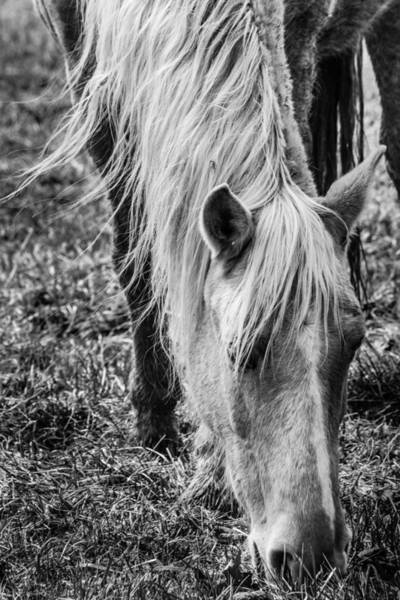 Photograph - Horse 2 Black And White by Karen Saunders