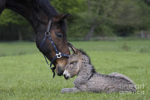 Equus Africanus Photograph - Horse And Donkey by Jean-Louis Klein & Marie-Luce Hubert