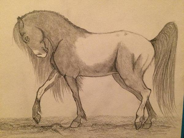 Appaloosa Drawing - Horse by Araina Adams