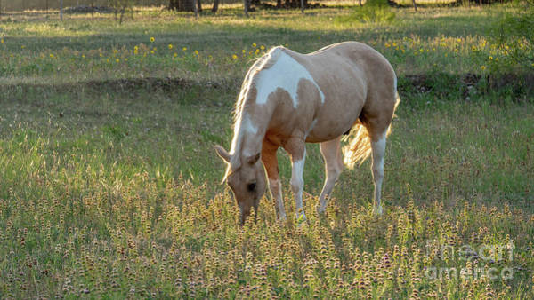 Photograph - Horse Feeding In Grass Farm With Sunset Light From The Left by PorqueNo Studios