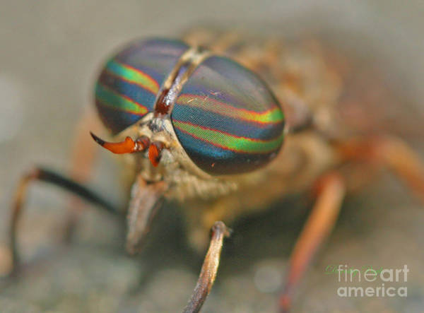 Photograph - Horse Fly by Dorothy  Pugh
