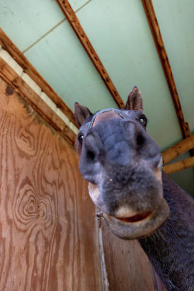 Photograph - Horse Head  by Joseph Caban