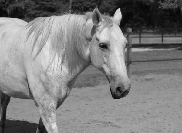 Photograph - Horse In Black And White by Cynthia Guinn