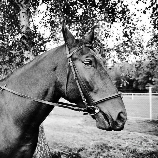 Wall Art - Photograph - Horse In Bridle Portrait by Arletta Cwalina