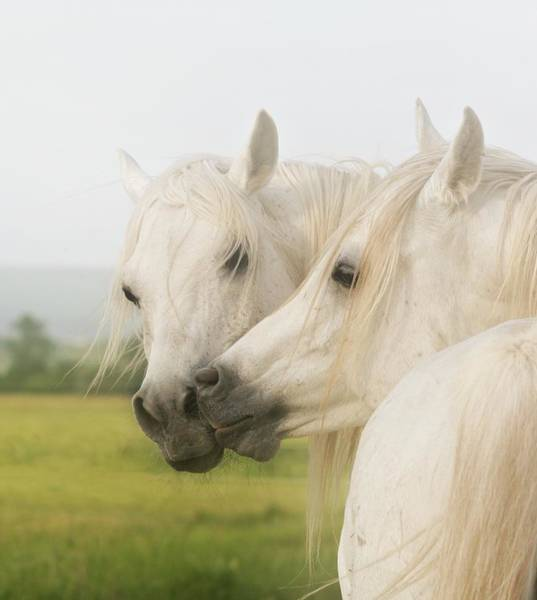 Grey Horse Photograph - Horse Kiss by ELA-EquusArt
