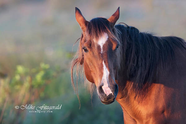 Photograph - Horse by Mike Fitzgerald