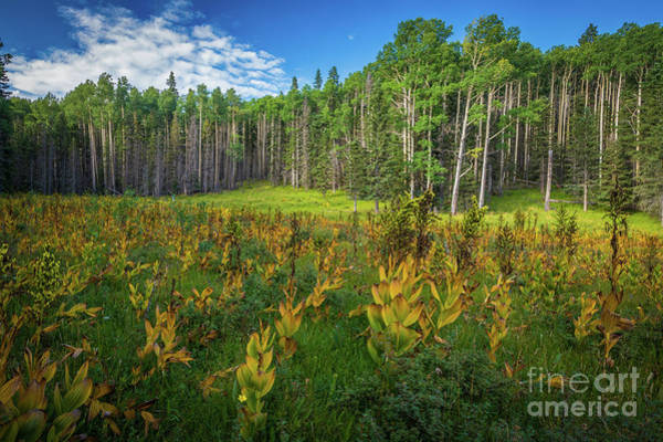 Photograph - Horse Thief Meadow Aspens by Inge Johnsson