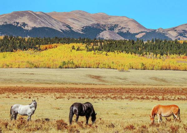 Photograph - Horses And Colorado Aspen by Dawn Key