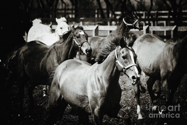 Photograph - Horses Black And White by Dimitar Hristov
