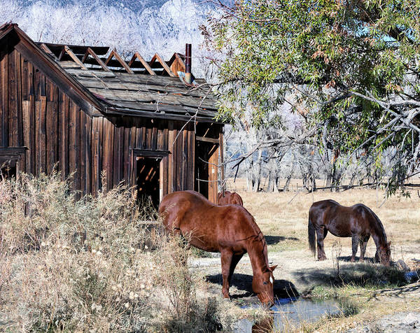 Wall Art - Photograph - Horses Drinking Beside The Shack  by Kathleen Bishop