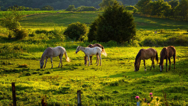 Wall Art - Photograph - Horses Grazing In Evening Light by Lori Coleman