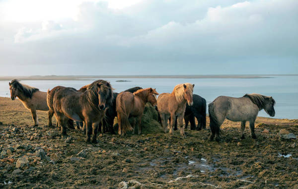 Photograph - Horses In Iceland by Dubi Roman