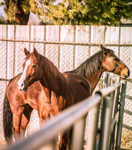 Norco Photograph - Horses In Norco by Christian Vaccese