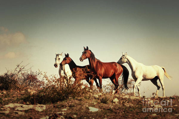 Photograph - Horses Running Stallions - Black And White by Dimitar Hristov