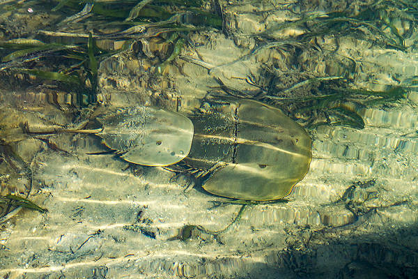 Photograph - Horseshoe Crabs by Bob Slitzan