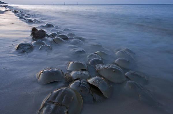 Wall Art - Photograph - Horseshoe Crabs Crawling Ashore Delaware by Piotr Naskrecki