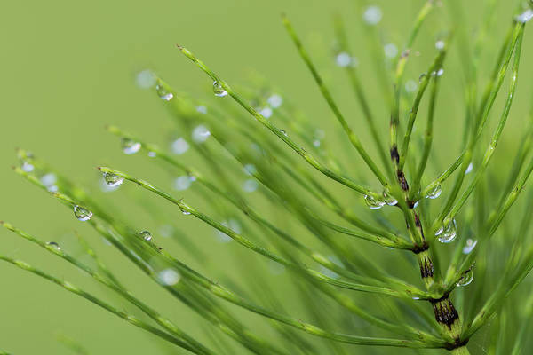 Photograph - Horsetail With Dew by Robert Potts