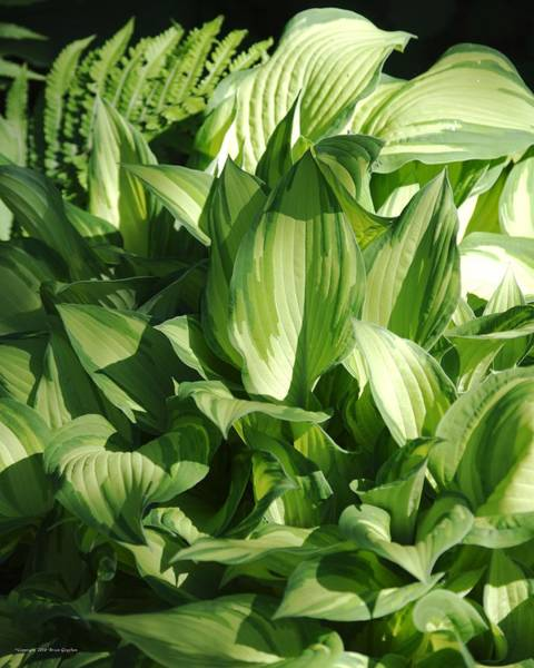 Photograph - Hosta 5416 by Brian Gryphon