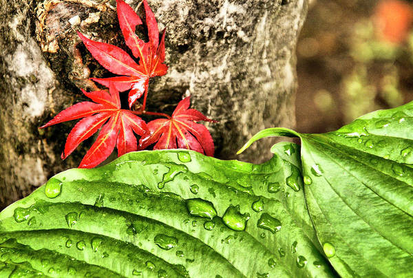 Photograph - Hosta And Japanese Maple Leaf by Cate Franklyn
