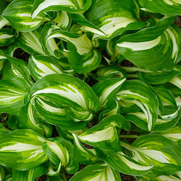Photograph - Hosta Curls by Denise Beverly