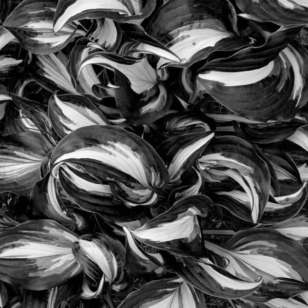 Photograph - Hosta Curls In Black And White by Denise Beverly