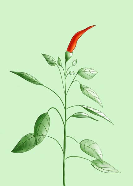 Ingredient Digital Art - Hot Chili Pepper Plant Botanical Illustration by Boriana Giormova