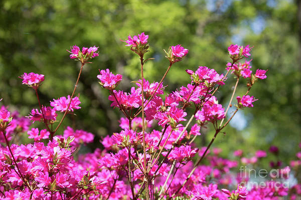 Photograph - Hot Pink Azaleas by Julia Gavin