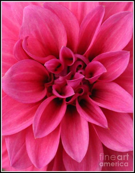 Wall Art - Photograph - Hot Pink Beauty - Dahlia by Dora Sofia Caputo Photographic Design and Fine Art