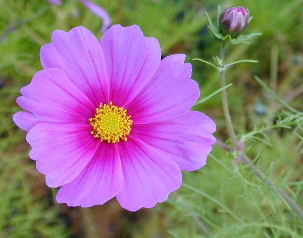 Photograph - Hot Pink Flower by Joseph R Luciano